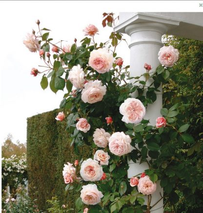 Anglická růže - A Shropshire Lad