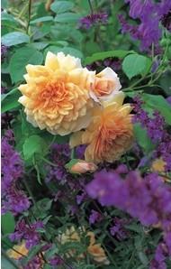 Anglická růže - Grace