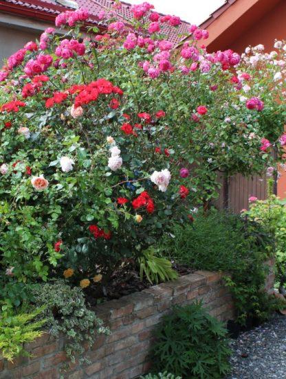 Anglická růže - Benjamin Britten