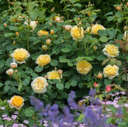 Anglická růže - Charlotte