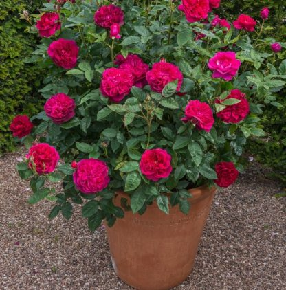 Anglická růže - Darcey Bussell