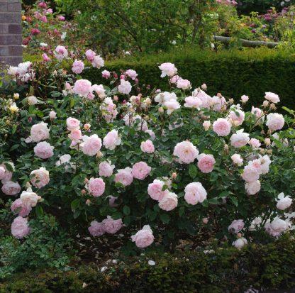 Anglická růže - Gentle Hermione