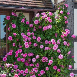 Anglická růže - Gertrude Jekyll