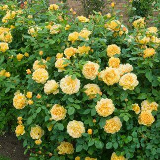 Anglická růže - Golden Celebration