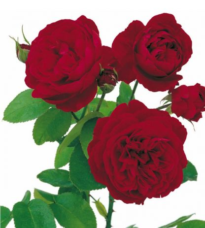 Anglická růže - L D Braithwaite