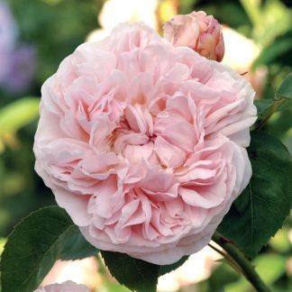 Anglická růže - St. Swithun