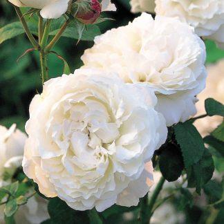 Anglická růže - Winchester Cathedral