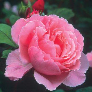 Anglická růže - Brother Cadfael