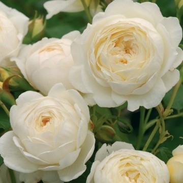 Anglická růže - Claire Austin
