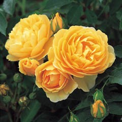 Anglická růže - Graham Thomas