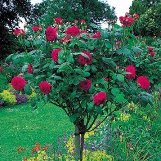 Anglická růže - L D Braithwaite Standard