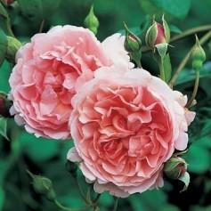 Anglická růže - Strawberry Hill