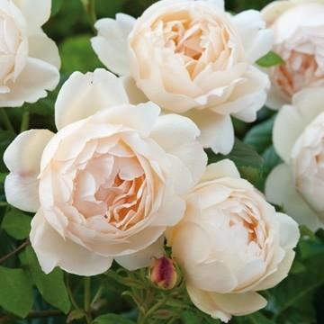 Anglická růže - Wollerton Old Hall