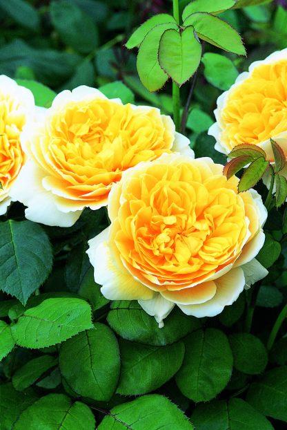 Anglická ruža - Charlotte