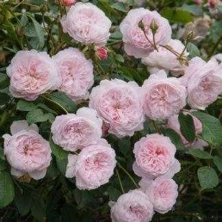 Anglická růže - The Albrighton Rambler