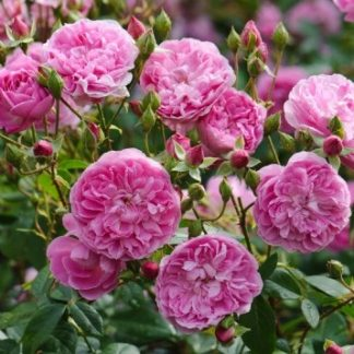 Anglická růže - Harlow Carr