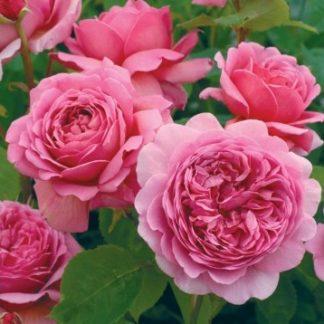 Anglická ruža - Princess Alexandra of Kent