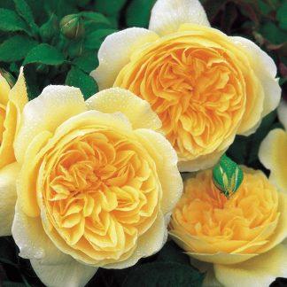 Anglická růže - Teasing Georgia