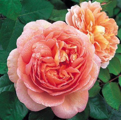 Anglická růže - Sir John Betjeman
