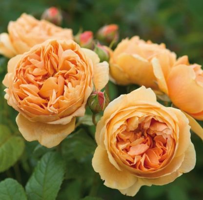 Anglická růže - Carolyne Knight