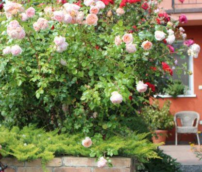 Anglická růže - Abraham Darby