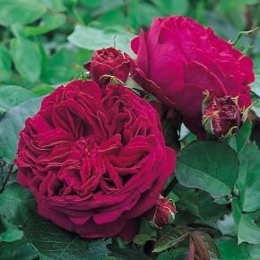 Anglická růže - Falstaff