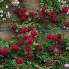 Anglická růže -Tess of the d´Urbervilles