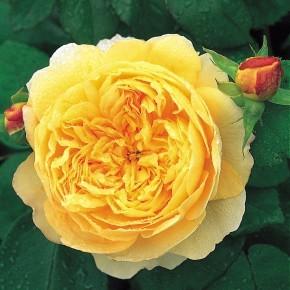 Anglická růže - Charles Darwin