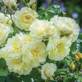 Anglická růže -Imogen