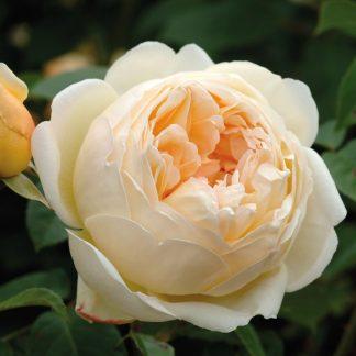 Anglická růže - Jude the Obscure