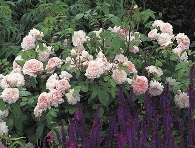 Anglická růže - Eglantyne Standard